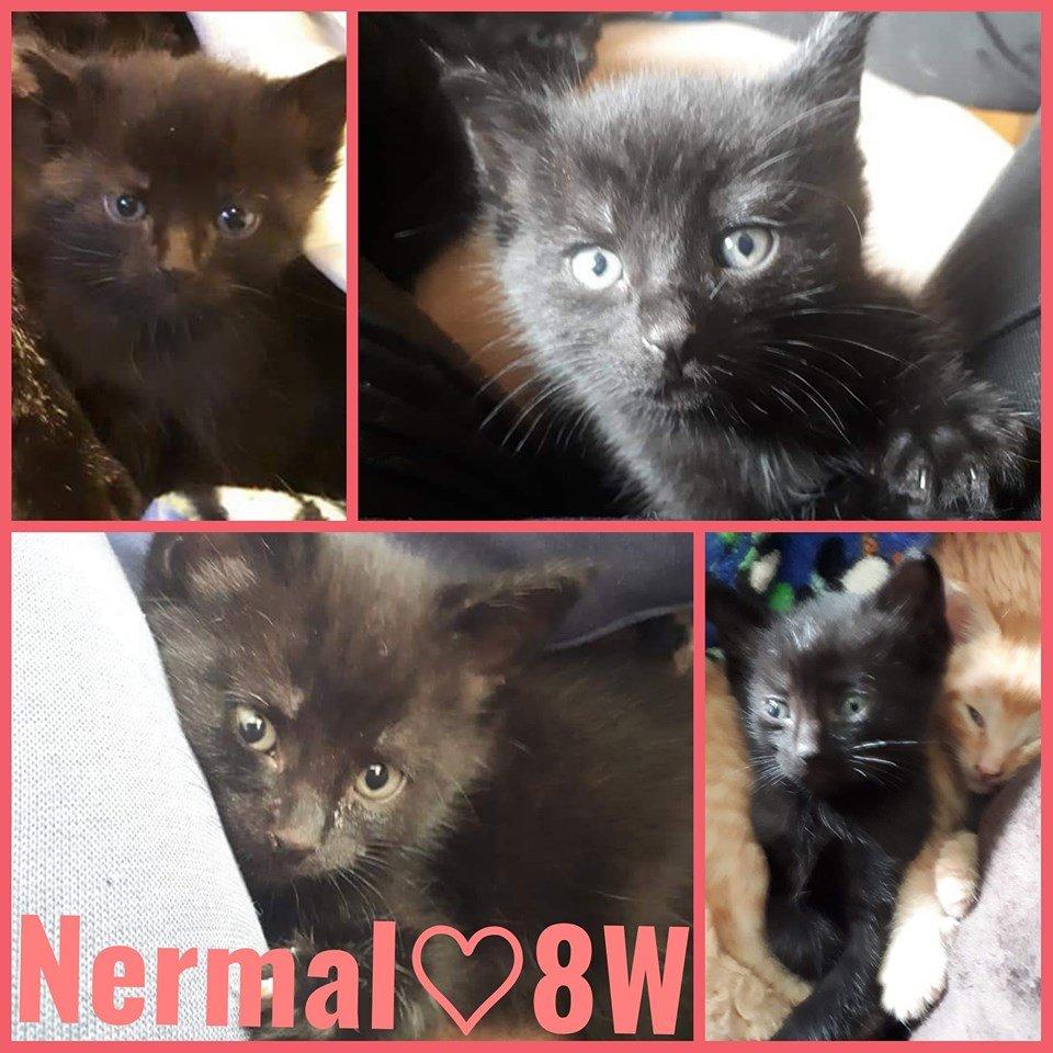 Nermal-Female-16 Weeks