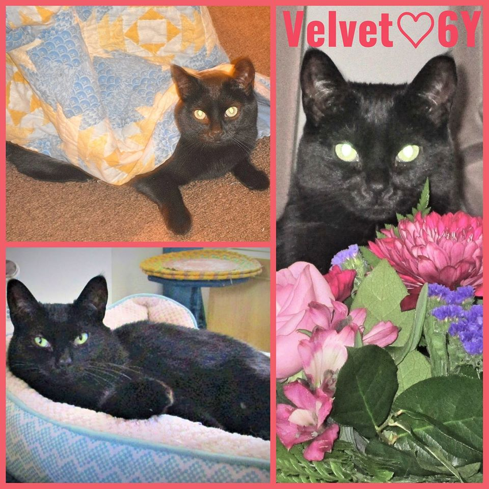 Velvet-Female- 6 Years