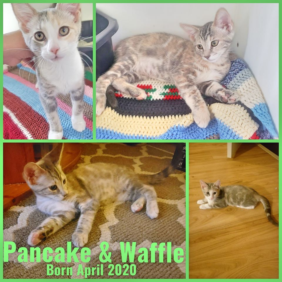 Pancake & Waffle-Females- Born in April 2020