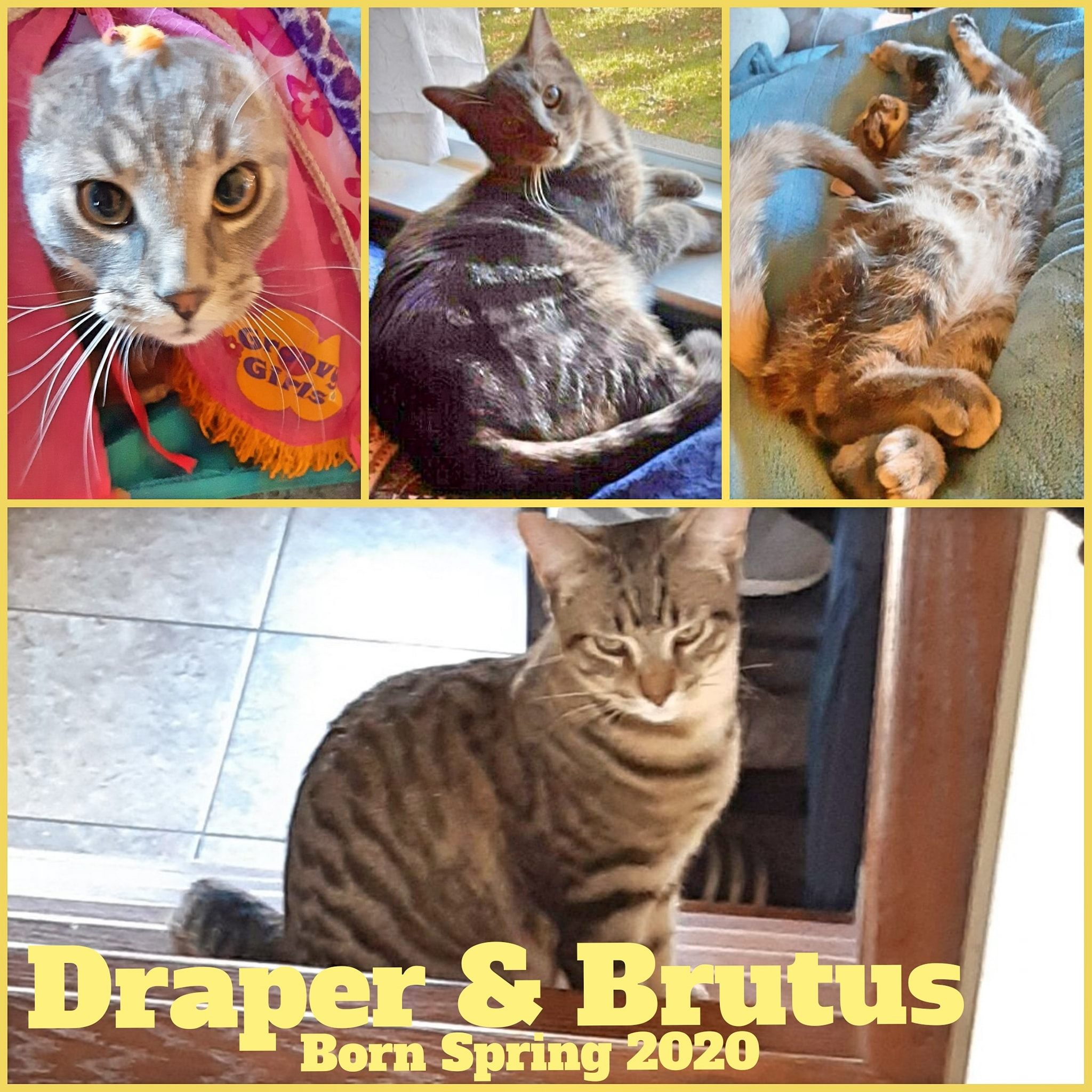 Draper and Brutus-Male-Born in the Spring 2020