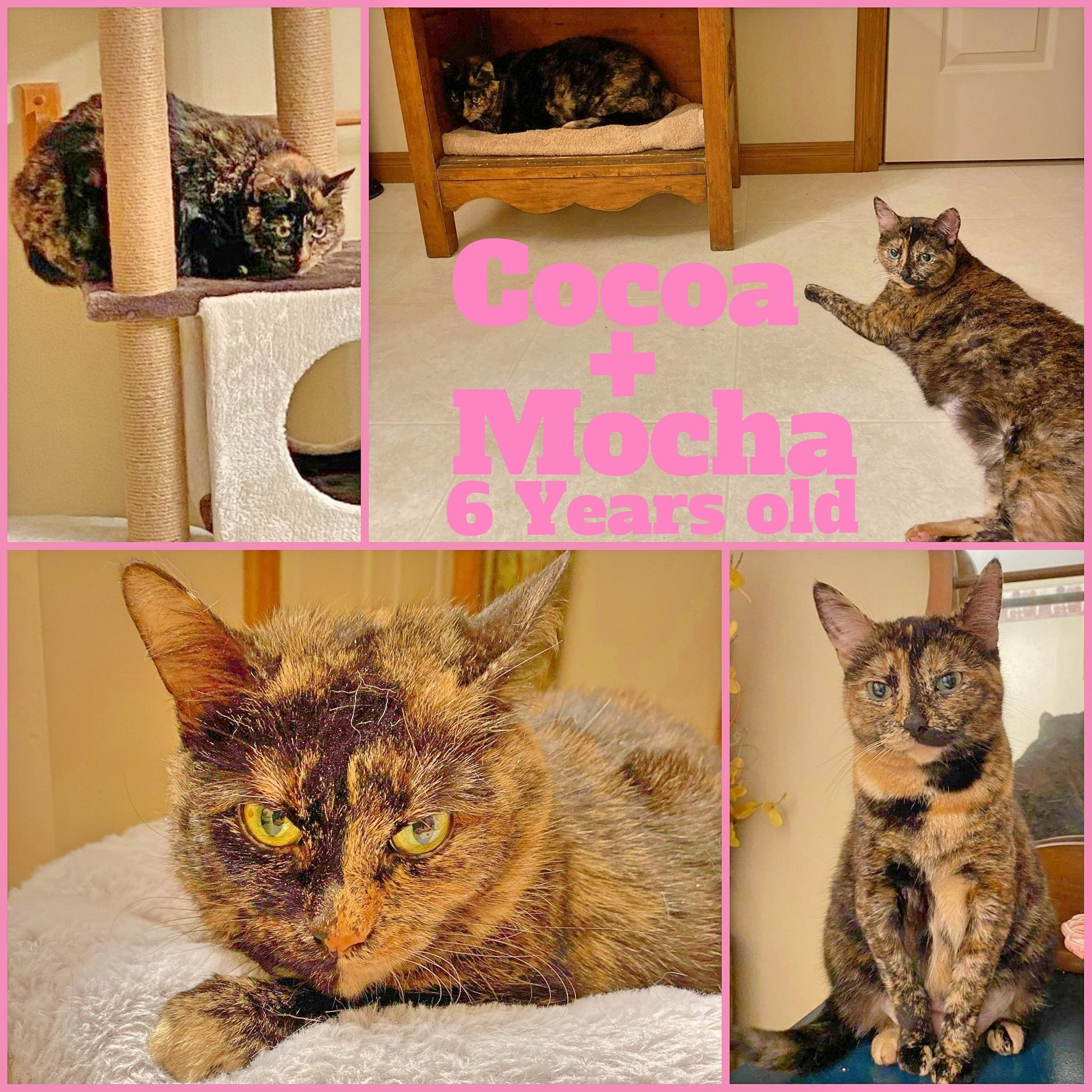 Cocoa & Mocha-Females- 6 Years old