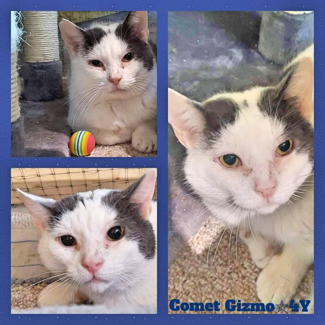 Comet Gizmo-Male- 4 Years