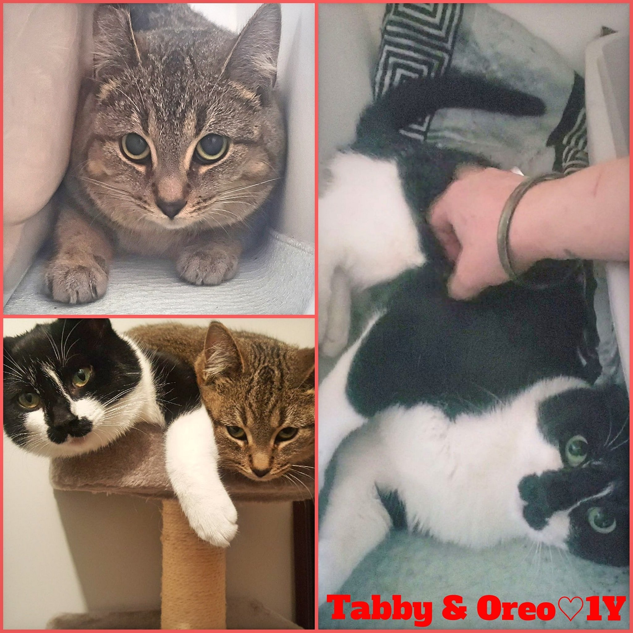 (Oreo is ADOPTED)  Tabby still available-Female-1 Year
