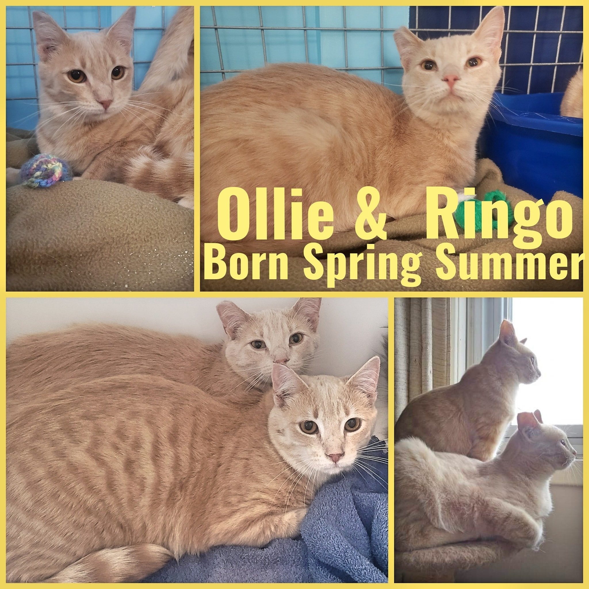 Bonded Brothers, Ollie and Ringo-Males-Born in Spring/Summer 2020