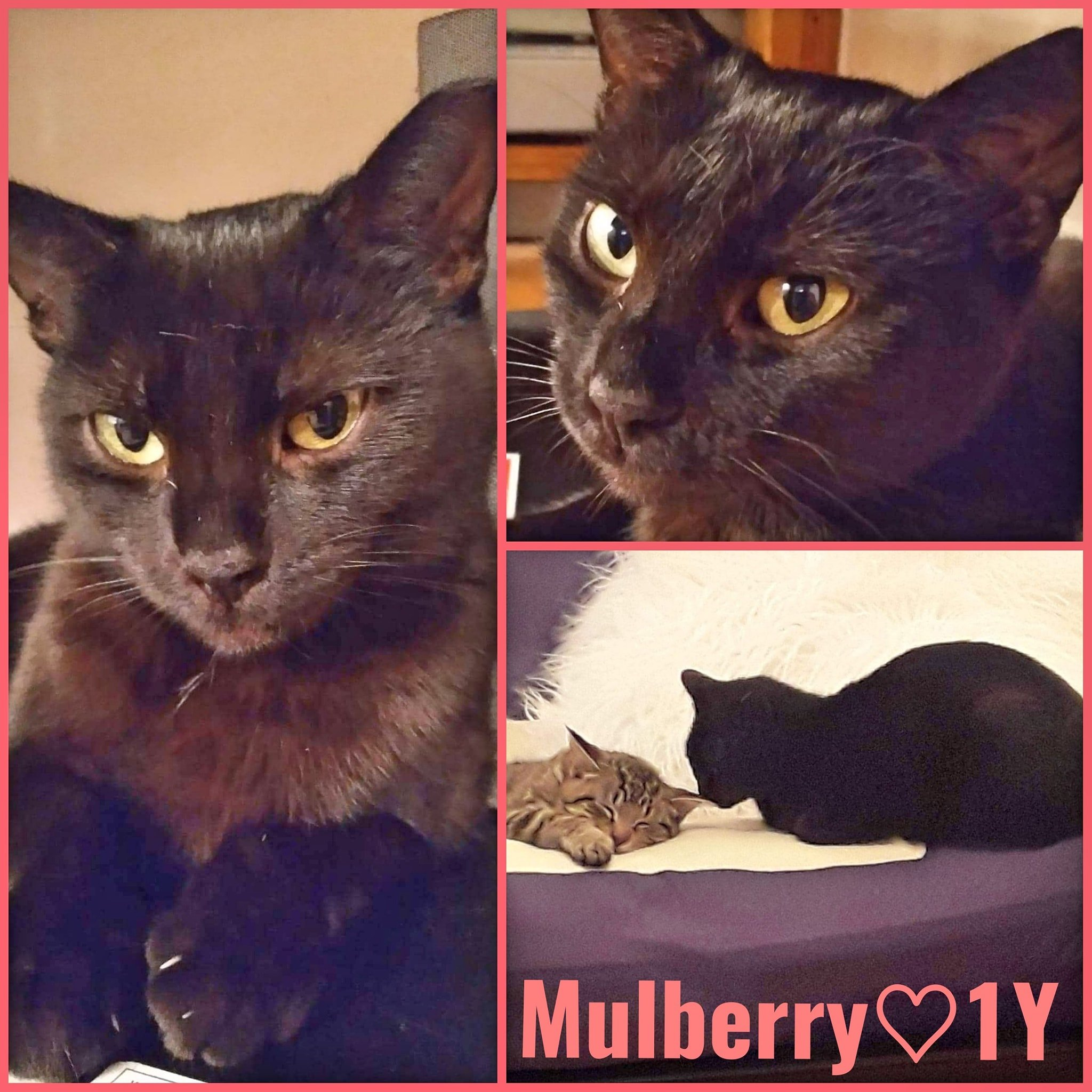 Mulberry-Female- 1 Year